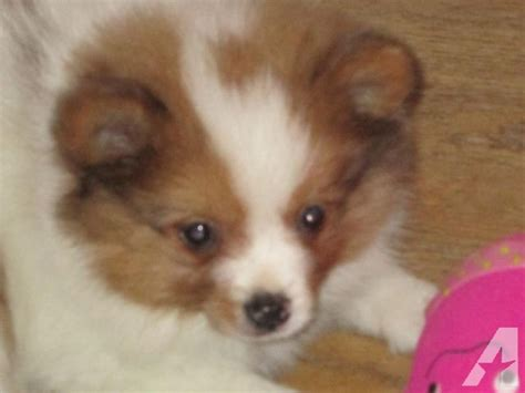 parti colored pomeranians for sale pomeranian gorgeous white parti color 9 weeks for sale in louis