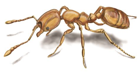 Orkin Bed Bugs Ant Pictures Photos Amp Images Of Ants