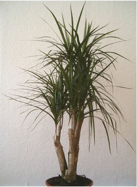 Plant Pots For Sale by Plants Are The Strangest People Fall Guy Dracaena Marginata