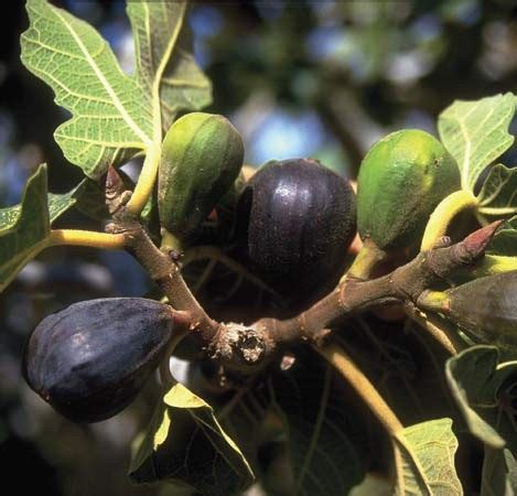 why is my fig tree not producing fruit how to prune a fig tree