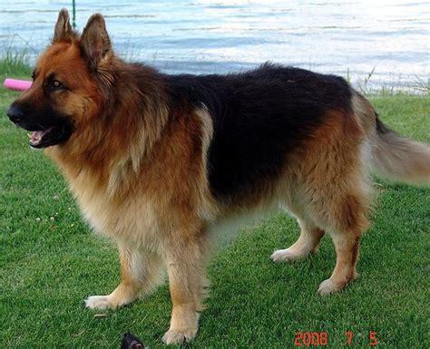 king german shepherd 17 best ideas about haired german shepherd on german shepherd puppies