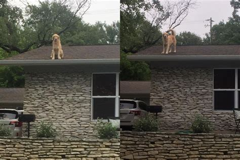 golden retriever house golden retriever enjoys spending time on owner s roof