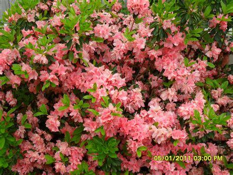 azela bushes peach flowers lawn  garden spring