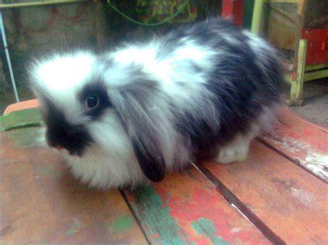 Harga Makanan Kelinci Anggora untung besar beternak kelinci hias mata pencaharian