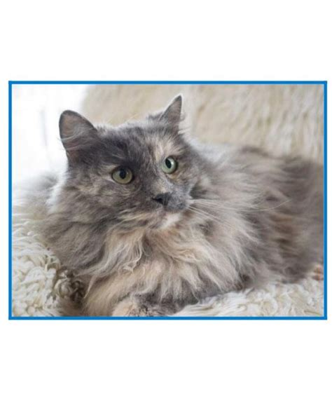 maine coon kittens bay area jan 2018 is a sweet 4 year maine coon mix with a luxurious thick fur coat in