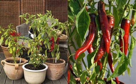 Bibit Cabai Hiyung tak perlu bibit 5 buah dan sayur ini bisa jadi tanaman
