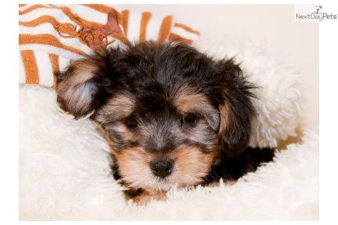 yorkie poo rescue ohio yorkie poo pups breeds picture