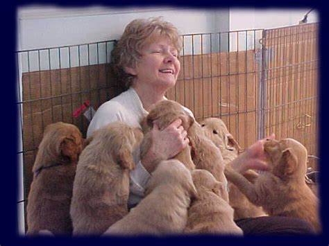 golden retriever breeder michigan golden retriever puppies for sale in michigan 2014 photo