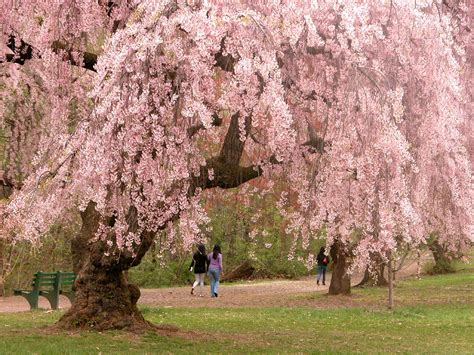 cherry bloosom tree flowering trees in virginia a guide for