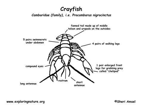crayfish diagram crayfish diagrams diagram site