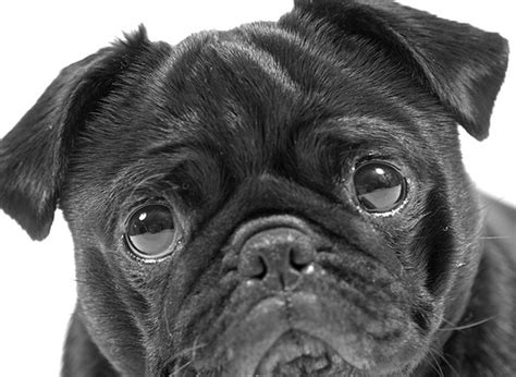 photos of black pugs the black pug flickr photo