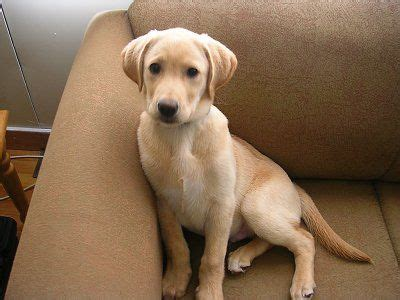 how does a golden retriever look like besides all the cats i a yellow lab named