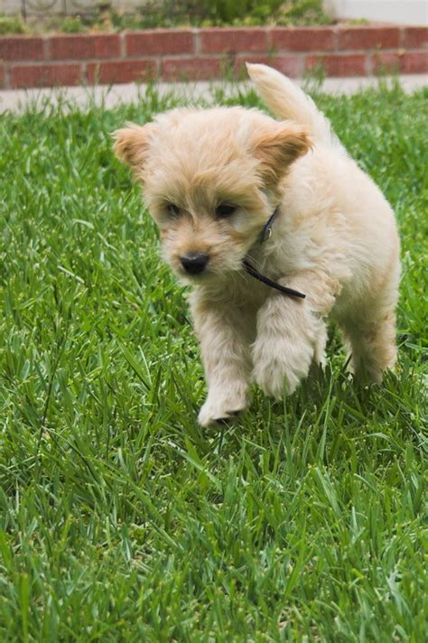goldendoodle puppy jumping goldendoodle puppy pictures goldendoodle puppy 0213