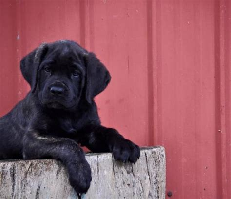 mastiff puppies ohio for sale mastiff puppies for sale mastiff