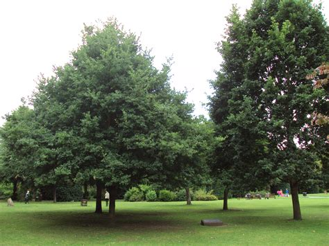 pictures of trees file queen elizabeth ii 40th anniversay oak trees