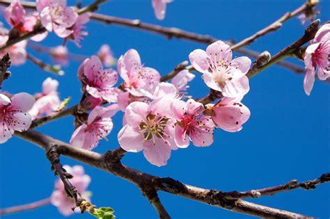 fiori ciliegio fiori di ciliegio la metafora della vita protegge la casa