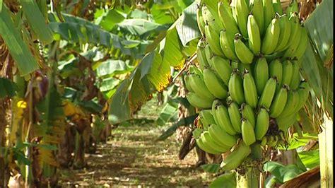 Stauden Bestellen 869 by Bananenplantage Arbeiten Kuba Rm 483 746 869