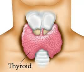 How To Slow Your Metabolism And Gain Weight by What Is The Thyroid Gland Thyroid Clinic Sydney