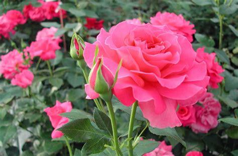 jardines con rosales jardines 187 rosa rosales