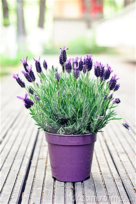 spanish lavender plant royalty  stock photo image