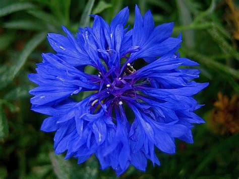 fiore definition blue corn flower best seen big centaurea cyanus