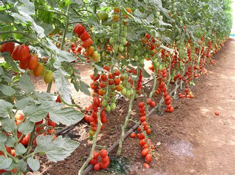 come piantare i pomodori in vaso distanza per piantare pomodori domande e risposte orto
