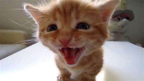 imagenes de gatitos llorando hermoso gatito maullando youtube