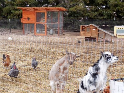 how to raise goats in your backyard rob s garden coop goats in the chicken yard coop thoughts blog