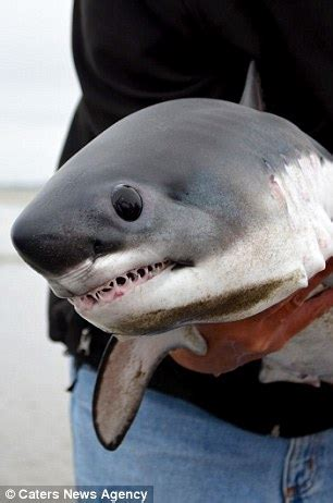 baby shark full ringtone man picks up a stranded baby shark in oregon and releases