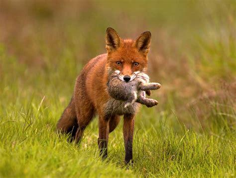 is a fox a or cat are foxes a threat to cats a study by certified cat behaviourist kelsey
