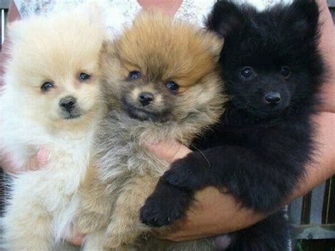 pomeranian puppies for sale ny 20 best images about island puppies breeders puppies for sale island ny