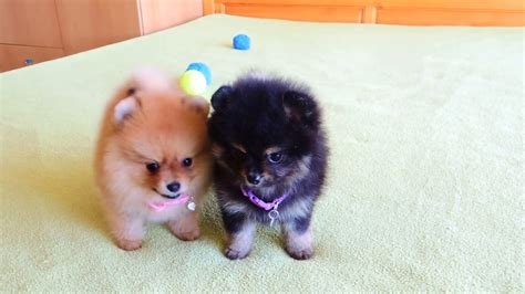 pomeranian breeders in ohio pomeranian puppies for sale in ohio and breeders pomeranian puppies for sale