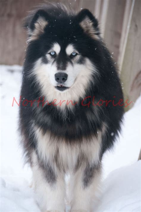 alaskan husky rottweiler mix sale pomsky puppies with blue