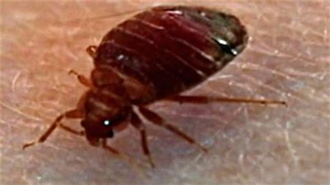 bed bugs transfer bed bugs appearing in books at uw libraries www kirotv com