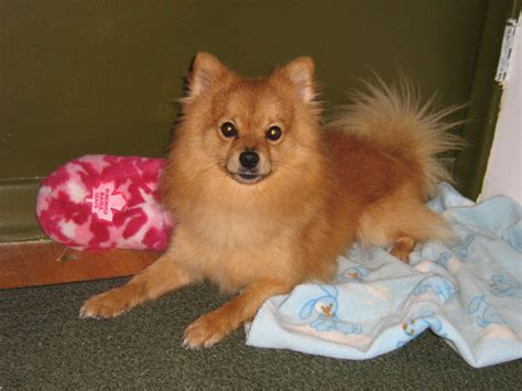 pomeranian and chihuahua mix pomeranian chihuahua mix by rayraynay on deviantart