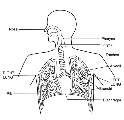 drawing system diagrams respiratory system parts and functions drawing diagram of