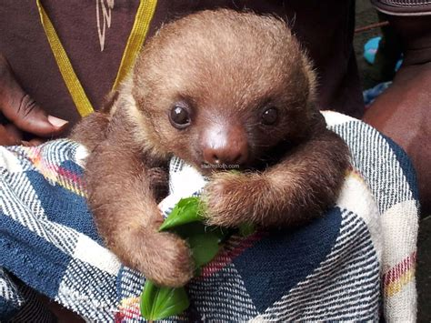 Cute Baby Sloths Pictures images