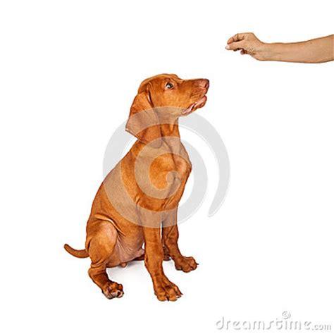 a puppy to sit a vizsla puppy to sit stock photo image 43021344