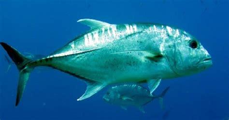 Harga Umpan Ikan Laut Pinggiran by Jenis Umpan Mancing Di Laut Pinggir