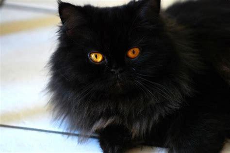 gatti persiani regalo gatto persiano carattere e prezzo idee green