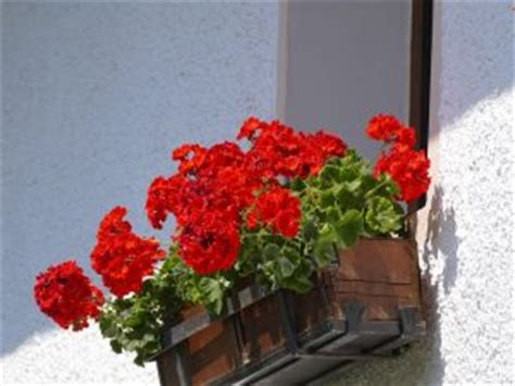 alto come un vaso di gerani 10 fiori da balcone primaverili come scegliere quelli giusti