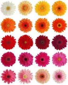 what color are daisies gerbera wedding on wedding