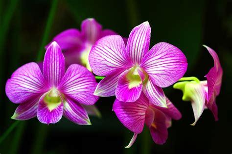 cura delle orchidee in vaso manutenzione orchidee orchidea cura orchidee