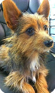 norwich terrier yorkie mix pet not found