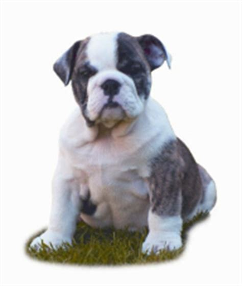 weaning pug puppies weaning puppies breederbase 174
