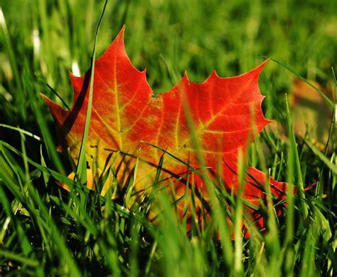 photo maple maple leaf autumn leaf  image
