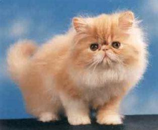 foto persiani cura gatti il gatto