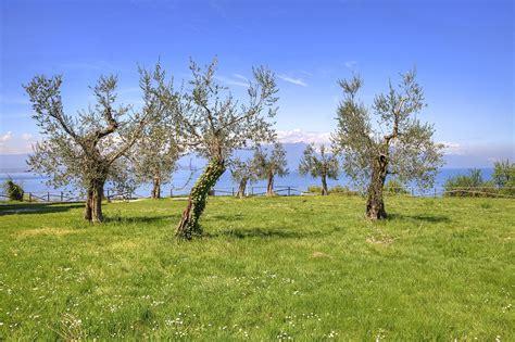 olive grove on lake gardan photograph by joana kruse