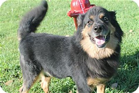 great pyrenees rottweiler mix bruiser adopted pittsburg ks great pyrenees rottweiler mix