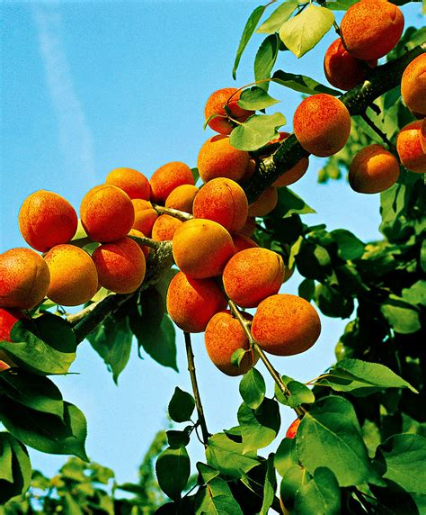 fruit trees buy buy fruit trees now apricot gold rich